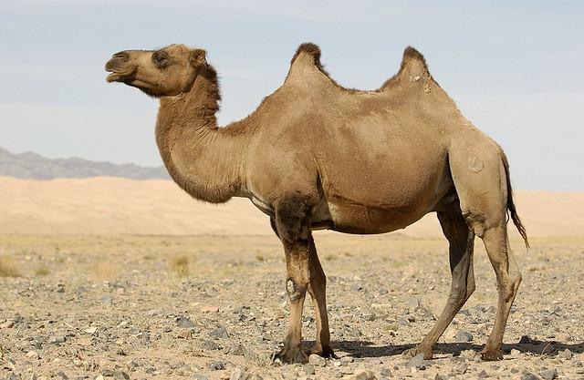 Camel PIcture by Jerrold Bennett